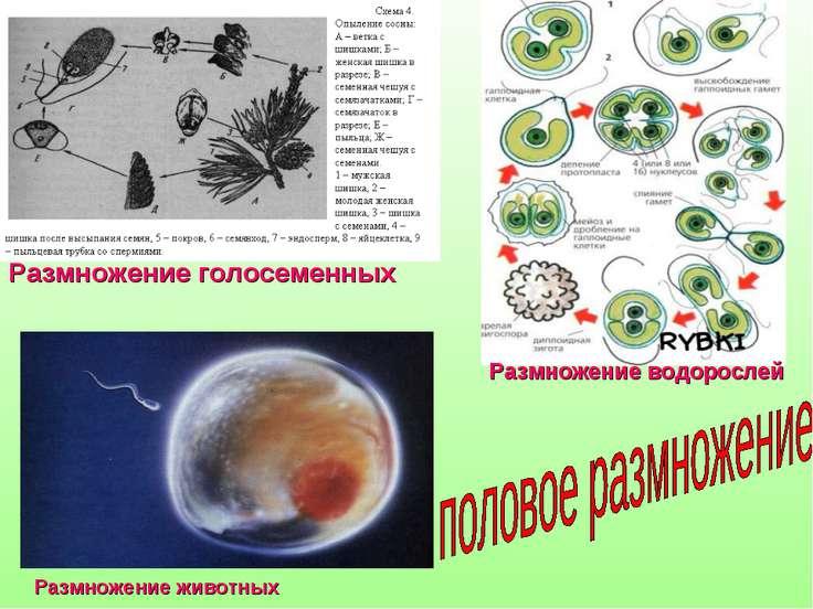 Размножение голосеменных Размножение водорослей Размножение животных