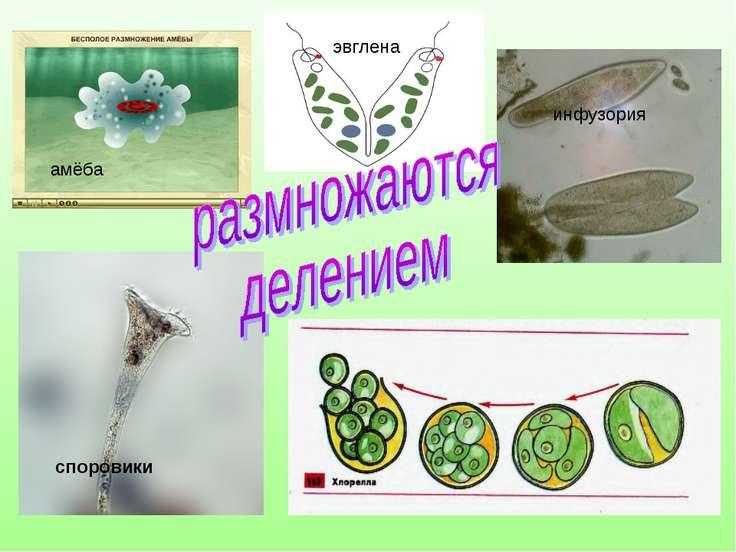 амёба инфузория эвглена споровики Синезелёные водоросли