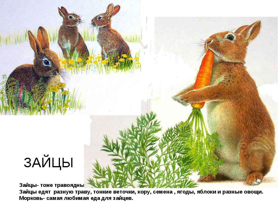 Почему заяц меняет свою окраску на зиму