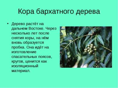Кора бархатного дерева Дерево растёт на дальнем Востоке. Через несколько лет ...