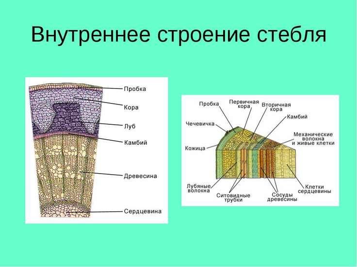 Внутреннее строение стебля