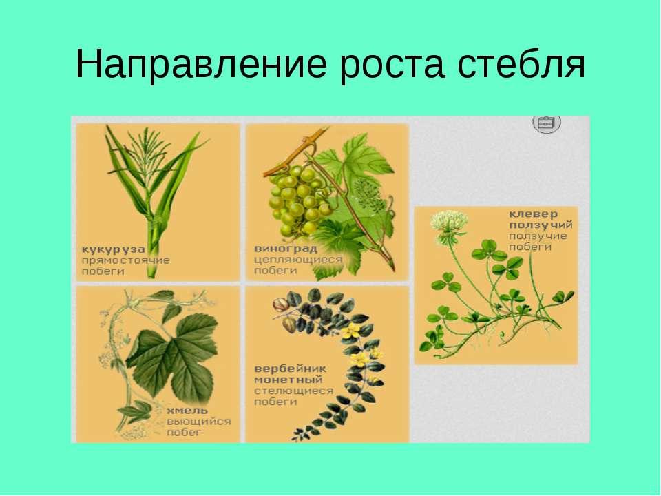 Направление роста стебля