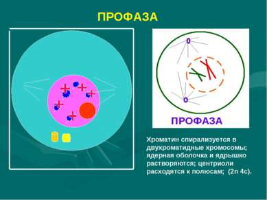 ПРОФАЗА Хроматин спирализуется в двухроматидные хромосомы; ядерная оболочка и...