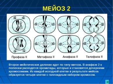 МЕЙОЗ 2 Второе мейотическое деление идет по типу митоза. В анафазе 2 к полюса...