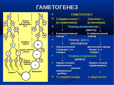ГАМЕТОГЕНЕЗ ГАМЕТОГЕНЕЗ Сперматогенез ♂ Овогенез ♀ (в семенниках) (в яичниках...