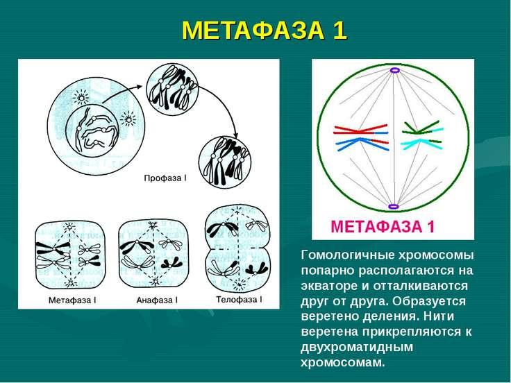 МЕТАФАЗА 1 Гомологичные хромосомы попарно располагаются на экваторе и отталки...