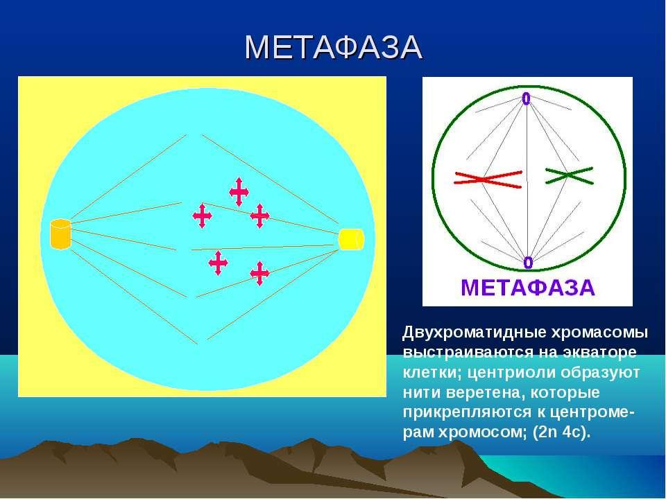 МЕТАФАЗА Двухроматидные хромасомы выстраиваются на экваторе клетки; центриоли...