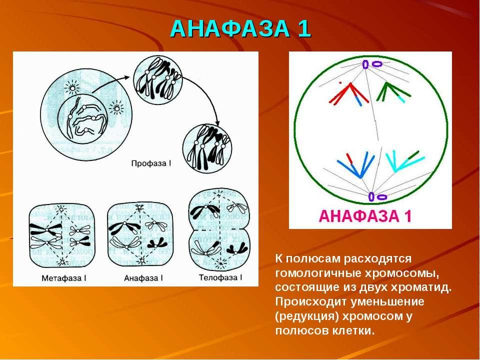 АНАФАЗА 1 К полюсам расходятся гомологичные хромосомы, состоящие из двух хром...