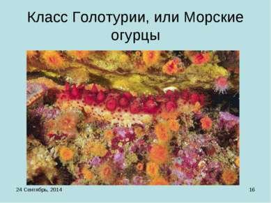 * * Класс Голотурии, или Морские огурцы