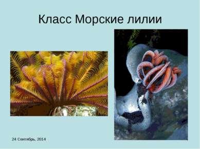 * * Класс Морские лилии