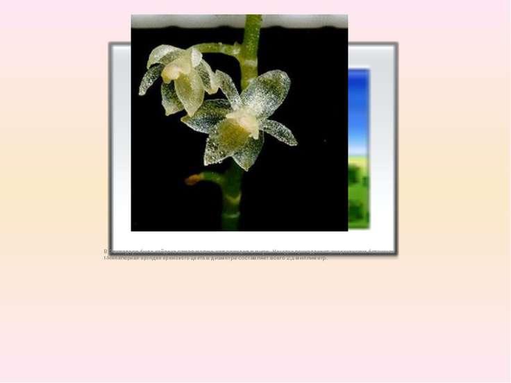 В Эвквадоребыла найденасамая маленькая орхидея в мире. Находка принадлежит ...