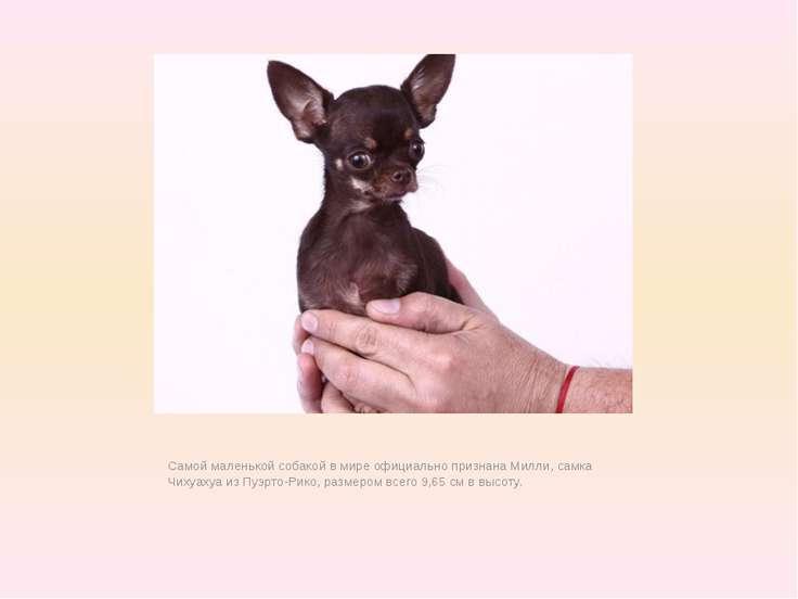 Самой маленькой собакой в мире официально признана Милли, самка Чихуахуа из П...