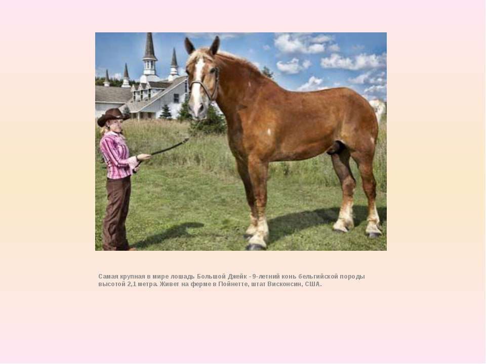 Самая крупная в мире лошадь Большой Джейк - 9-летний конь бельгийской породы ...