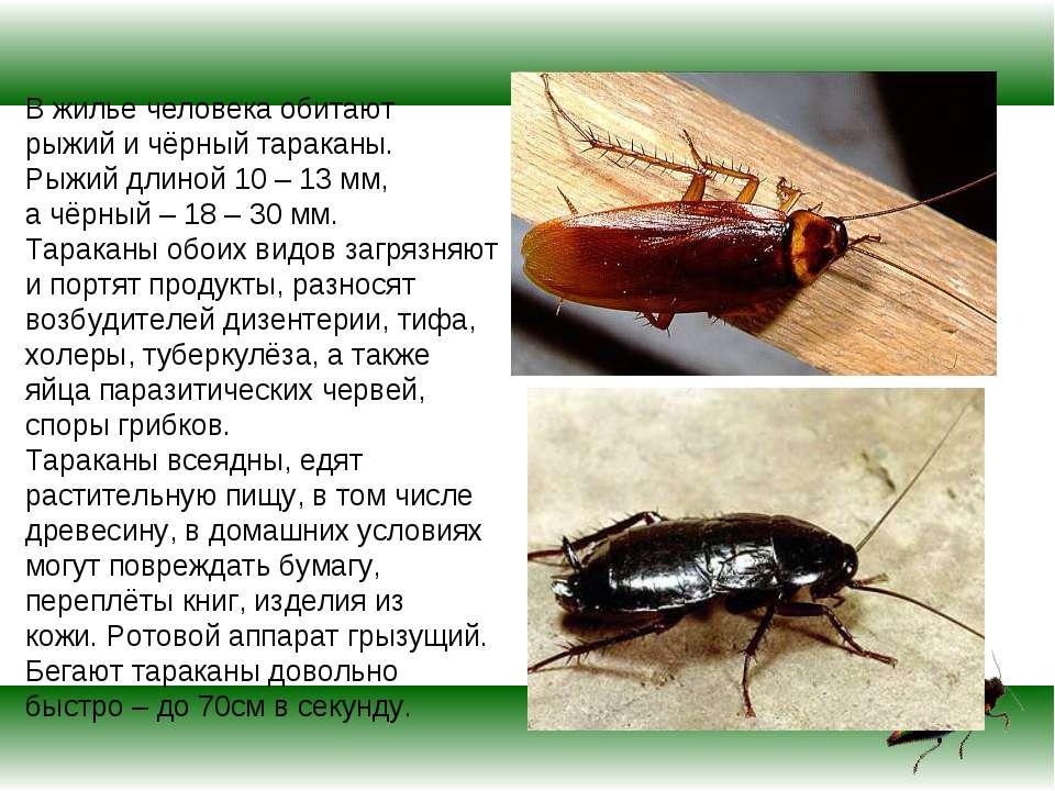 В жилье человека обитают рыжий и чёрный тараканы. Рыжий длиной 10 – 13 мм, а ...