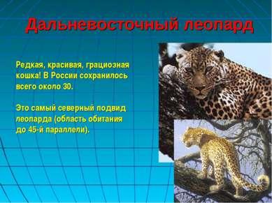 Дальневосточный леопард Редкая, красивая, грациозная кошка! В России сохранил...