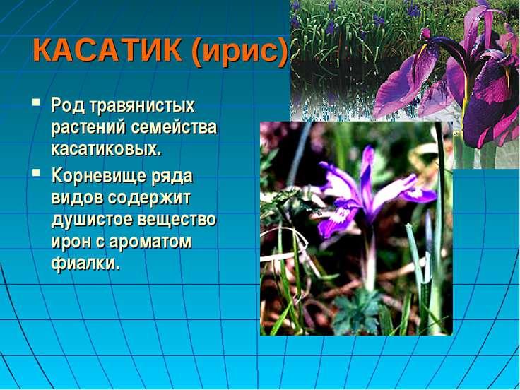 КАСАТИК (ирис) Род травянистых растений семейства касатиковых. Корневище ряда...