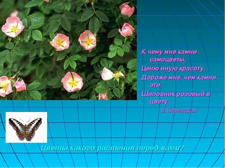 Цветы какого растения перед вами? К чему мне камни-самоцветы, Ценю иную красо...