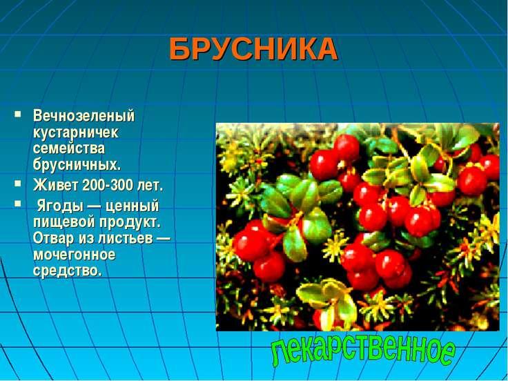 БРУСНИКА Вечнозеленый кустарничек семейства брусничных. Живет 200-300 лет. Яг...
