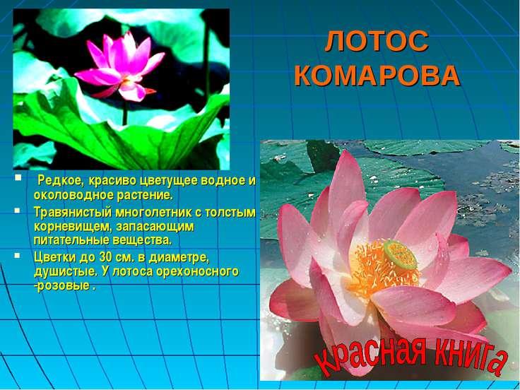 ЛОТОС КОМАРОВА Редкое, красиво цветущее водное и околоводное растение. Травян...
