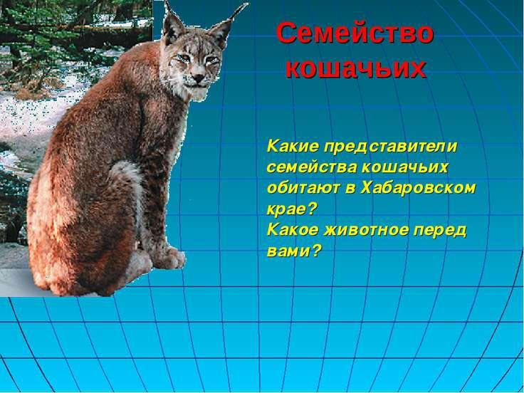 Семейство кошачьих Какие представители семейства кошачьих обитают в Хабаровск...