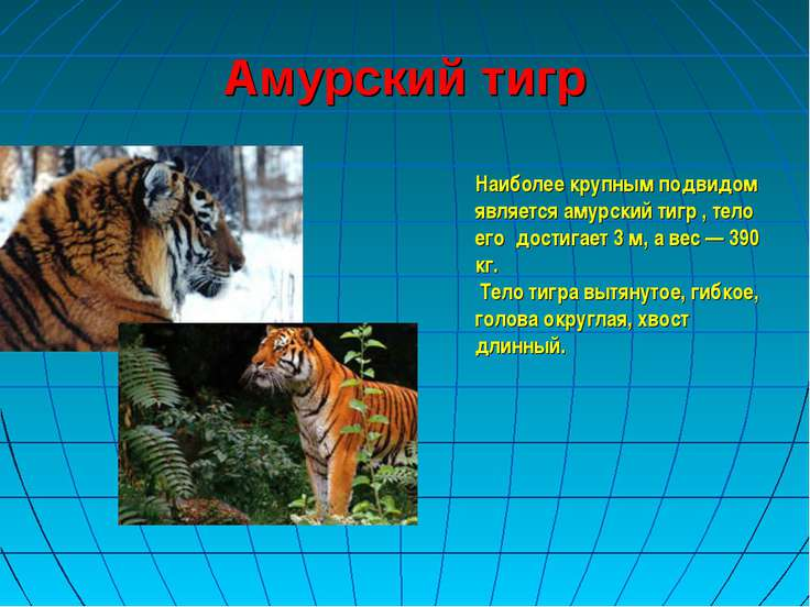 Амурский тигр Наиболее крупным подвидом является амурский тигр , тело его дос...