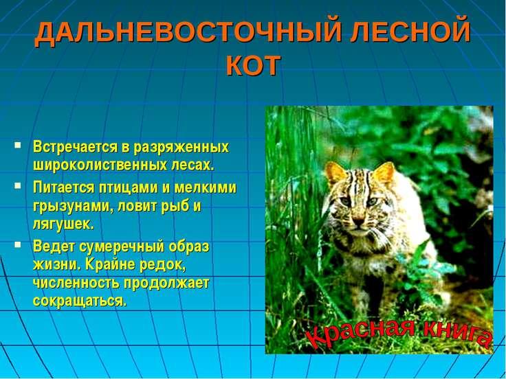 ДАЛЬНЕВОСТОЧНЫЙ ЛЕСНОЙ КОТ Встречается в разряженных широколиственных лесах. ...