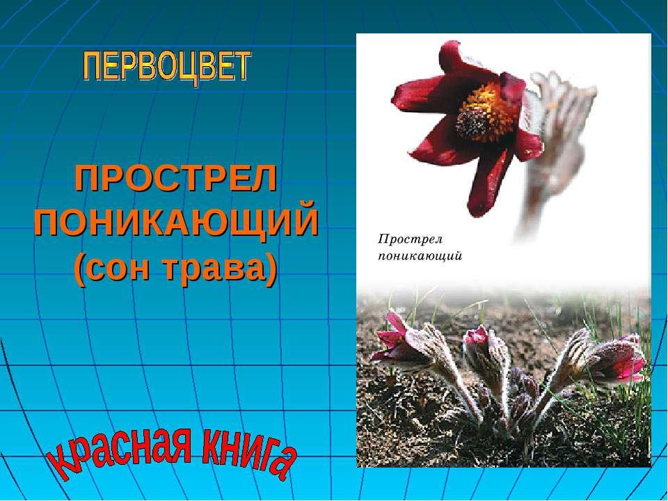 ПРОСТРЕЛ ПОНИКАЮЩИЙ (сон трава)