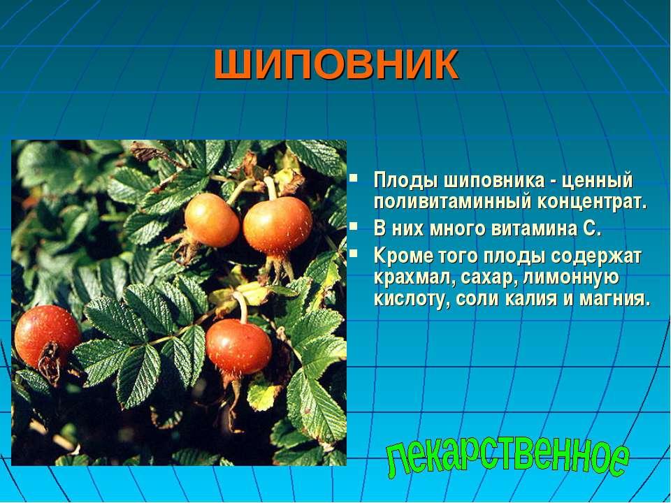 ШИПОВНИК Плоды шиповника - ценный поливитаминный концентрат. В них много вита...