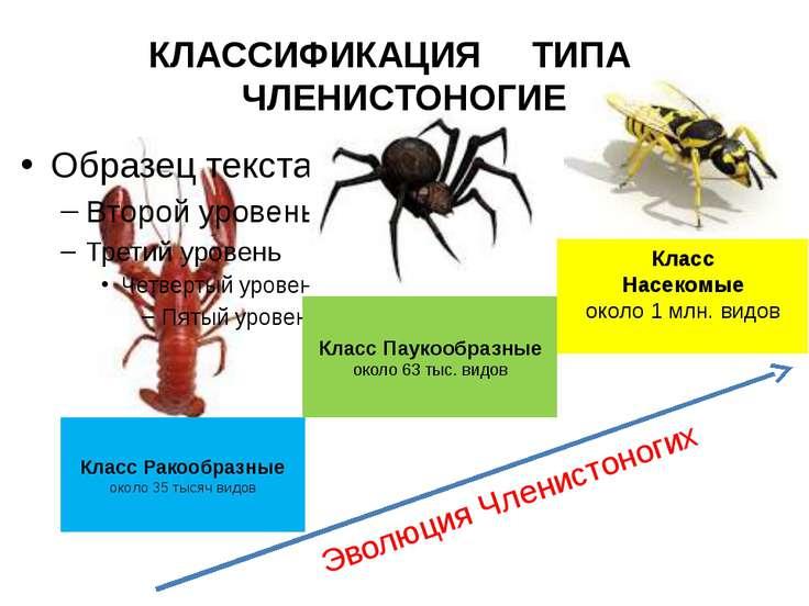 Класс Паукообразные около 63 тыс. видов Класс Ракообразные около 35 тысяч вид...