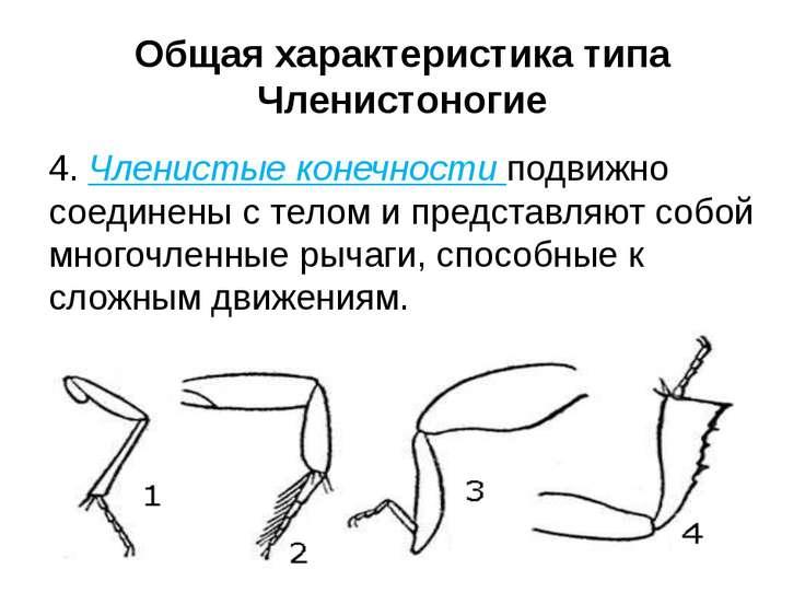 4. Членистые конечности подвижно соединены с телом и представляют собой много...