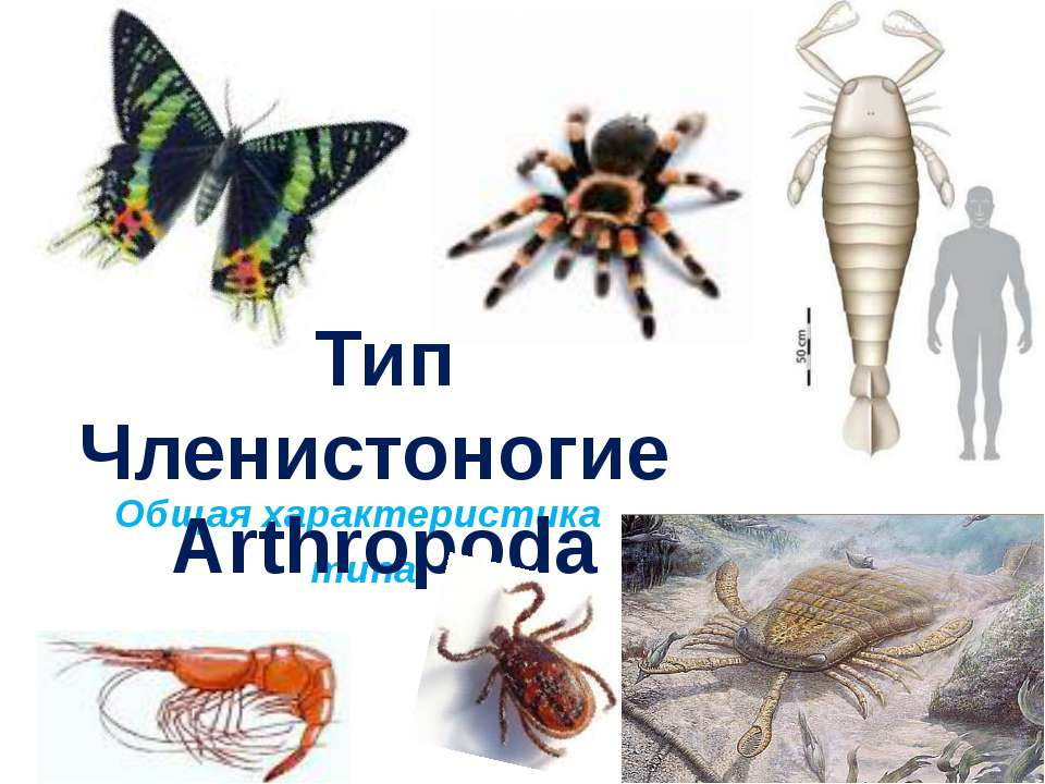 Общая характеристика типа Тип Членистоногие Arthropoda