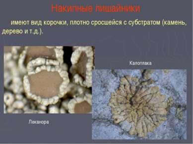 Накипные лишайники имеют вид корочки, плотно сросшейся с субстратом (камень, ...