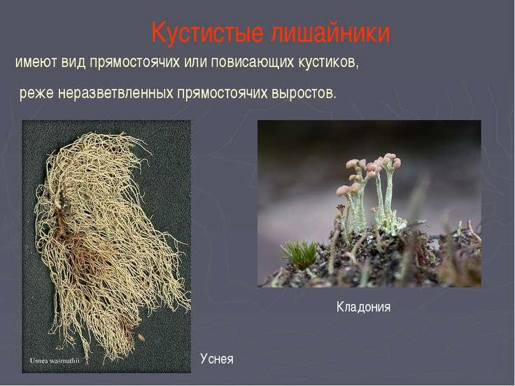 Кустистые лишайники имеют вид прямостоячих или повисающих кустиков, реже нера...