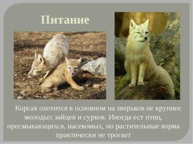 Питание Корсак охотится в основном на зверьков не крупнее молодых зайцев и су...