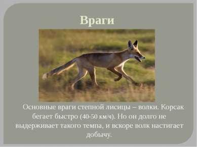 Враги Основные враги степной лисицы – волки. Корсак бегает быстро (40-50 км/ч...