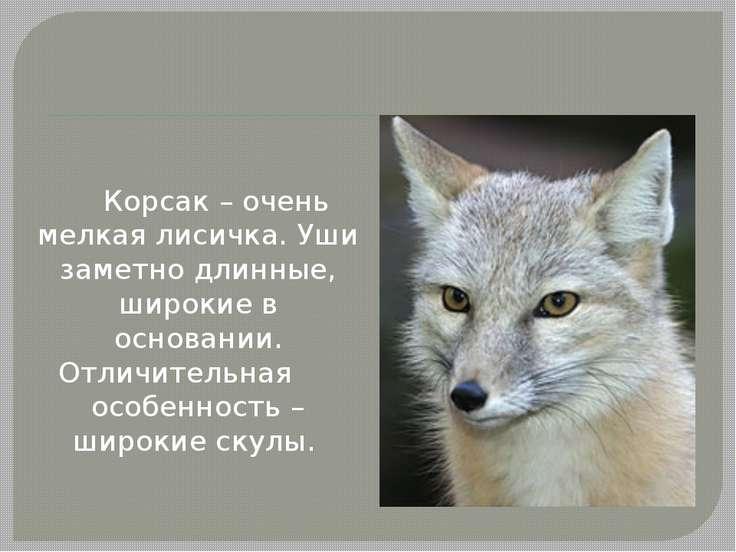 Корсак – очень мелкая лисичка. Уши заметно длинные, широкие в основании. Отли...