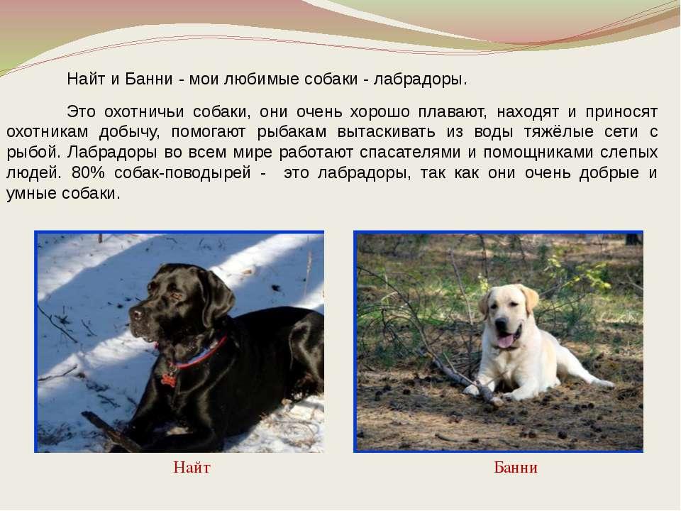 Найт и Банни - мои любимые собаки - лабрадоры. Это охотничьи собаки, они очен...