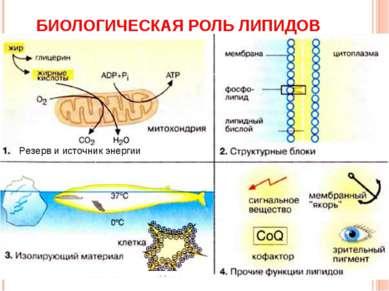 БИОЛОГИЧЕСКАЯ РОЛЬ ЛИПИДОВ Резерв и источник энергии