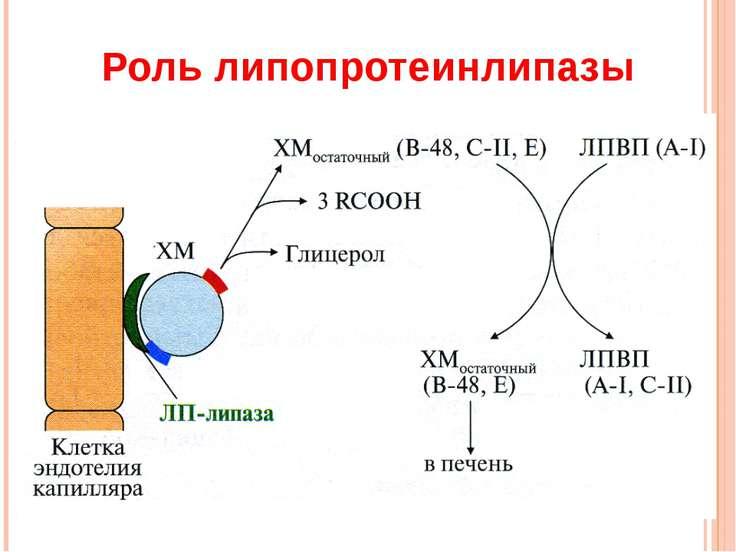 Роль липопротеинлипазы