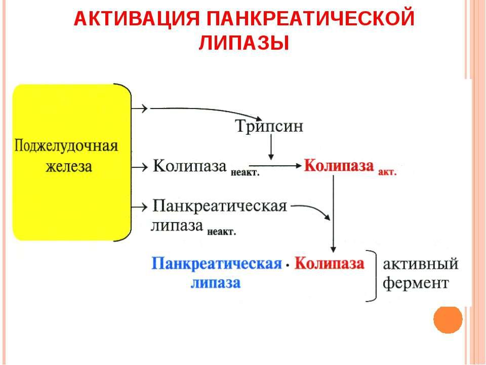 АКТИВАЦИЯ ПАНКРЕАТИЧЕСКОЙ ЛИПАЗЫ