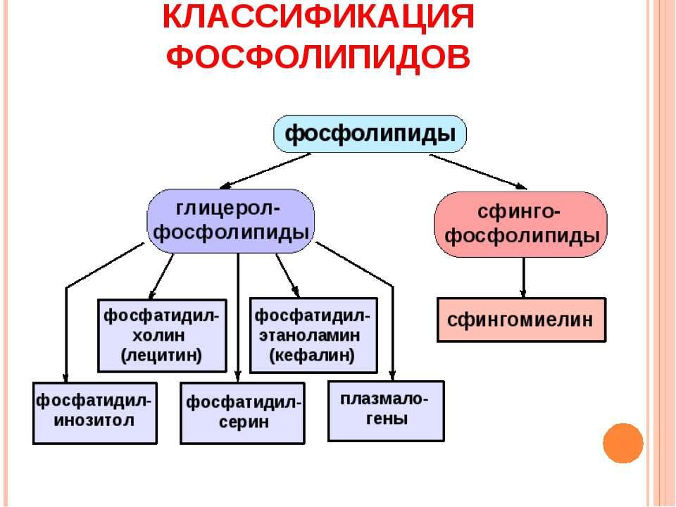 КЛАССИФИКАЦИЯ ФОСФОЛИПИДОВ