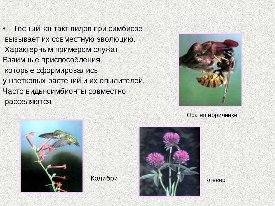 Тесный контакт видов при симбиозе вызывает их совместную эволюцию. Характерны...