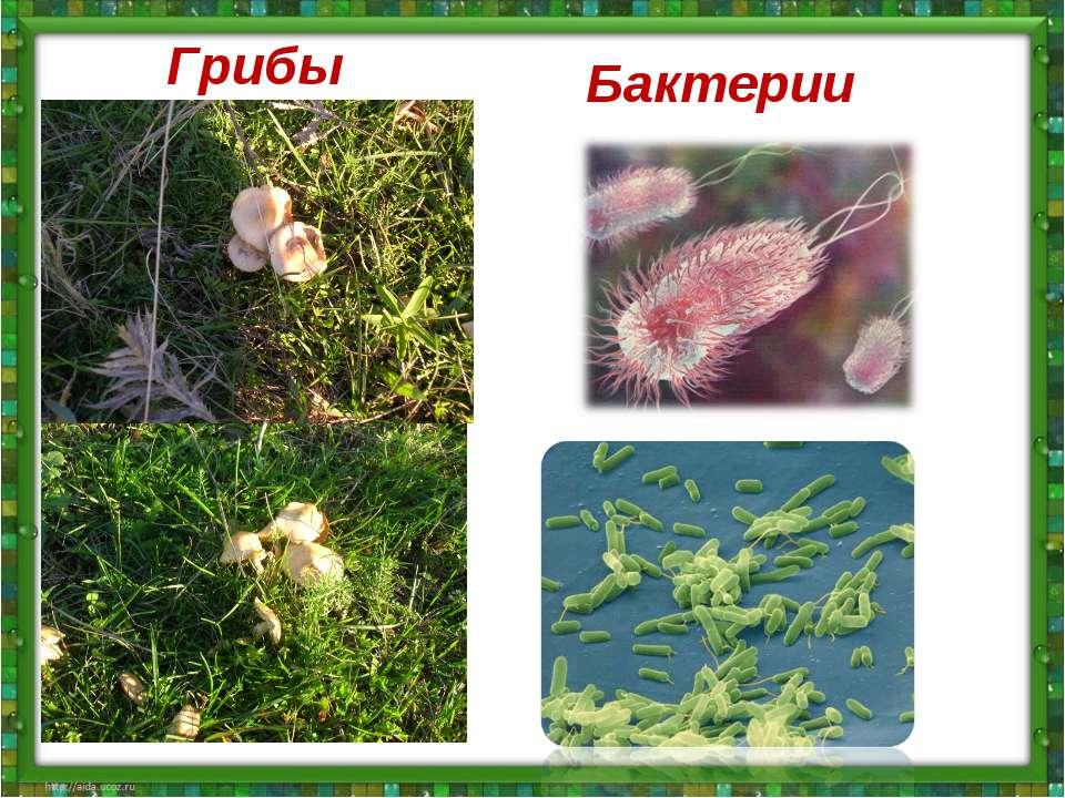 Грибы Бактерии