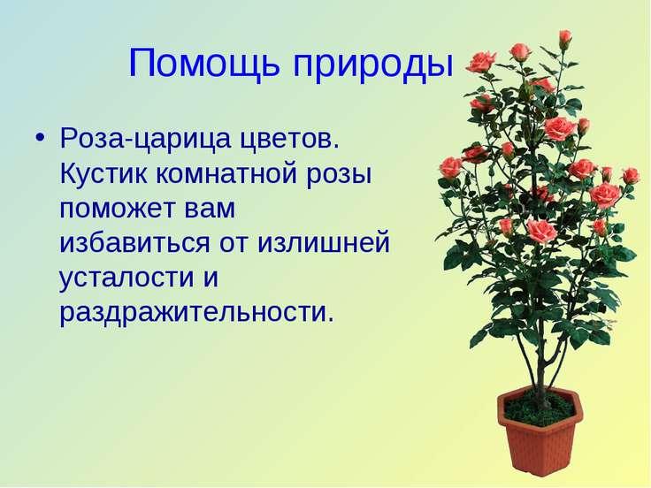 Помощь природы Роза-царица цветов. Кустик комнатной розы поможет вам избавить...