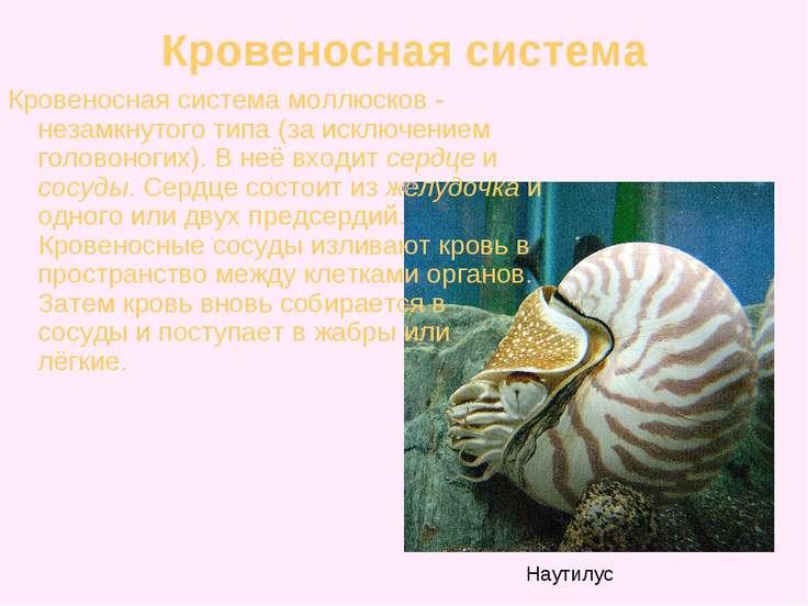 Кровеносная система Кровеносная система моллюсков - незамкнутого типа (за иск...