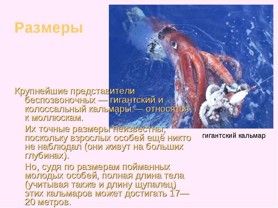 Крупнейшие представители беспозвоночных — гигантский и колоссальный кальмары ...