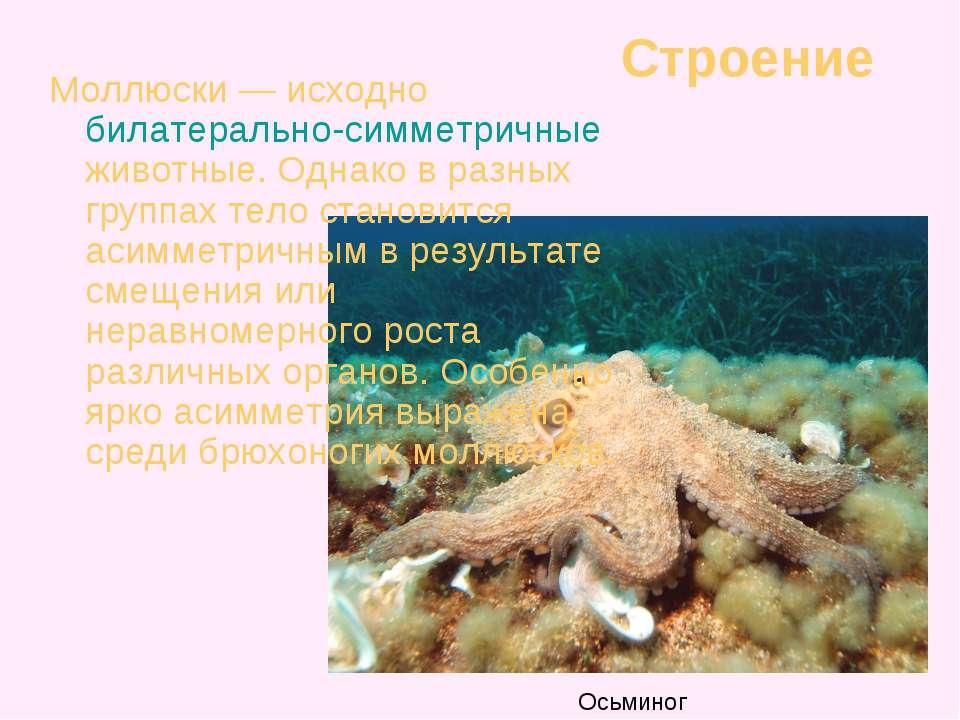 Строение Моллюски — исходно билатерально-симметричные животные. Однако в разн...