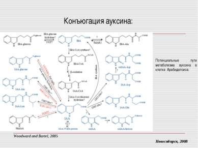 Конъюгация ауксина: Новосибирск, 2008 Потенциальные пути метаболизма ауксина ...