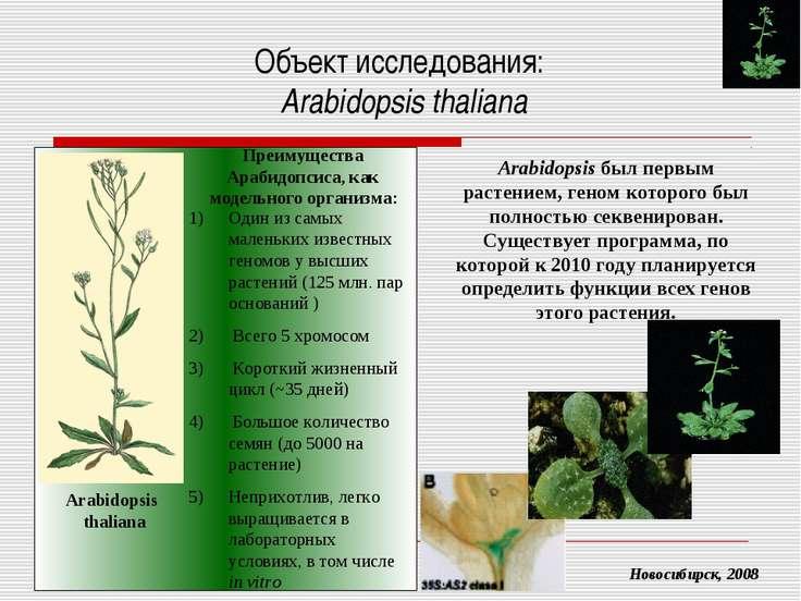 Объект исследования: Arabidopsis thaliana Arabidopsis был первым растением, г...