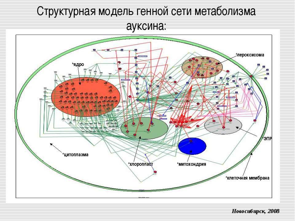Структурная модель генной сети метаболизма ауксина: *цитоплазма *ядро *клеточ...